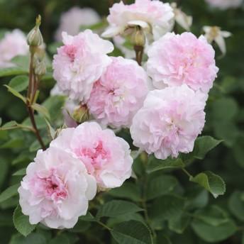 rosemoor_1_2